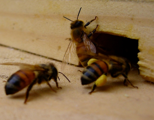 Honeybees with pollen - pollen sacks on honeybees