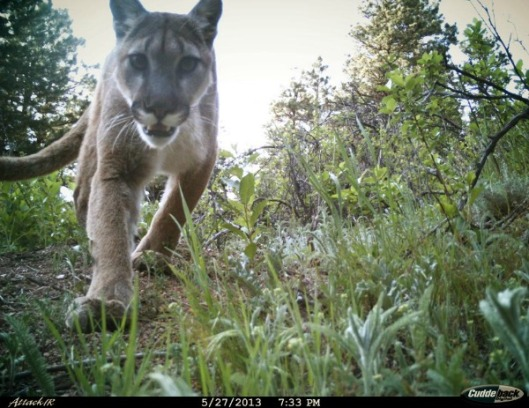A photo of a mountain lion taken by a Boulder remote wildlife camera  on Mount Sanitas. (City of Boulder)